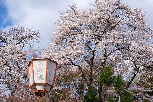 原谷苑お桜